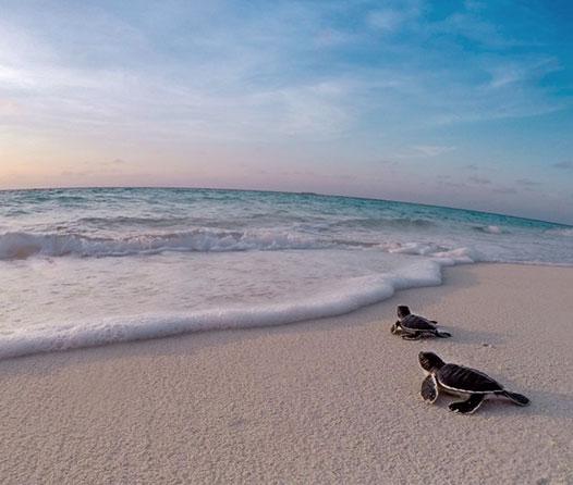 ve-tortugas-en-la-Riviera-Maya